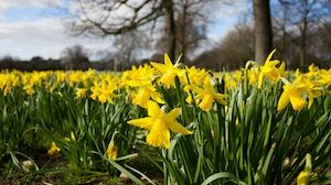 Daffodils In Greenwich Park London (c) Russell james Smith via Flickr