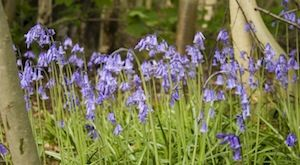 Bluebell Band (c) Dominics Pics via Flickr