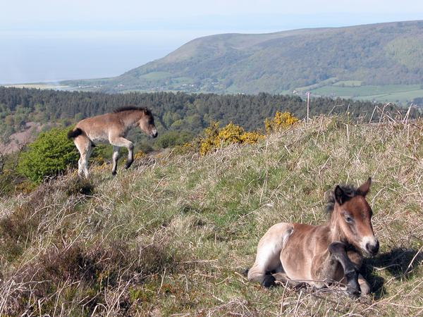 Two Exmoor Ponies, one lying, one walking, against landscape with distant hills and sea