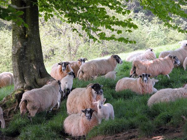 A flock of Exmoor sheep and lambs in the shade of a tree