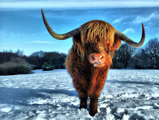 Highland Cattle, Heaton Park