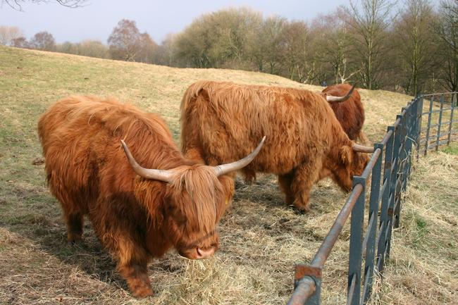 Highland Cattle in Heaton Park
