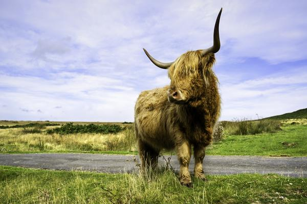 A long-haired, long-horned, highland cow photographed at the height of summer near Levisham
