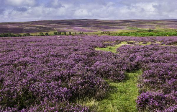 Heather in bloom over the rugged North York Moors National Park near Goathland, Yorkshire