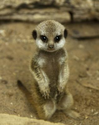 Meerkat Pup at Edinburgh Zoo