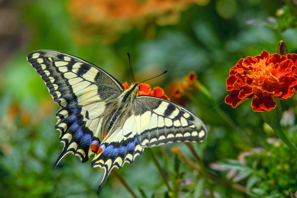 Swallowtail butterfly on the marigold flower