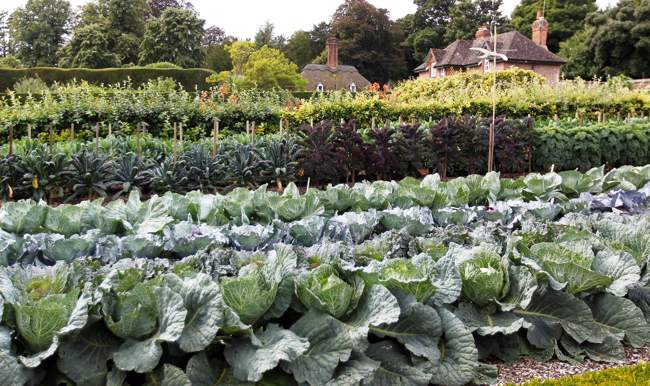 West Dean Gardens Cabbages