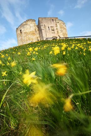 Cliffords tower on a sunny day with daffodils in foreground