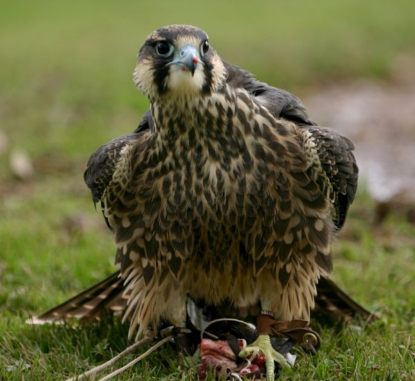 Bird of prey feeding on ground