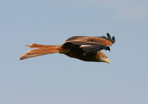 Bird of prey in flight against blue sky