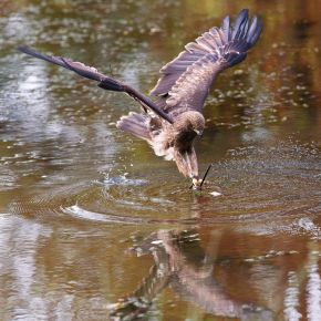 Bird of Prey swooping down to water
