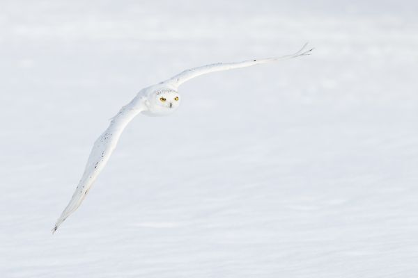 Snowy owl flying in front of snowy background