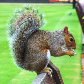 Squirrel eating a nut on a park bench in Kensington Palace Gardens