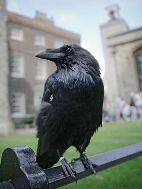Closeup of raven at the Tower of London