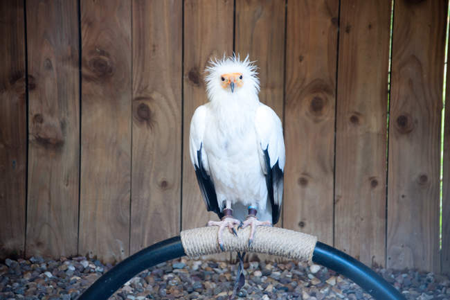Frank The Egyptian Vulture