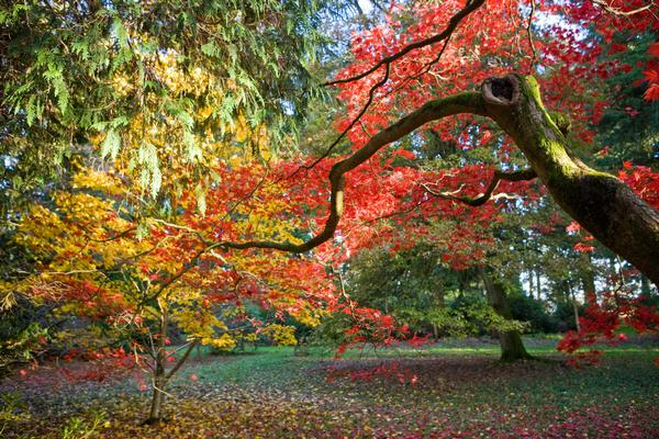 Maple in Silk Wood at Westonbirt Arboretum