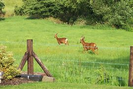 wild deer in our field