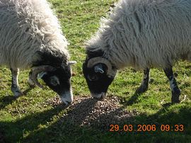 swaledale ewes