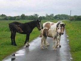 horses on adjacent common
