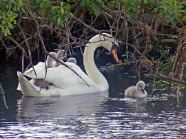 Another mum giving a youngster a lift !