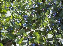 Rare Oyster plant
