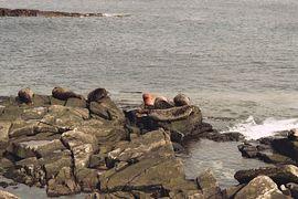 Seals in Breiwick Bay