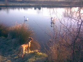 Biscuit and Swans