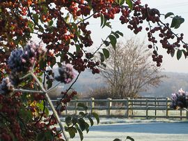 Winter berries on a frosty winter day
