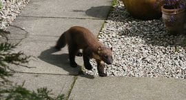 Pine marten on path by our reception door