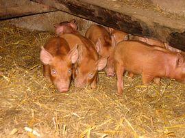 Charlottes piglets