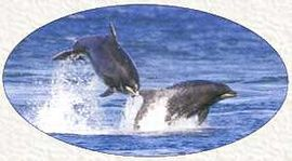 Dolphin playing in Moray Firth