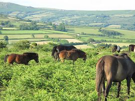 Our Dartmoor Ponies on the Common