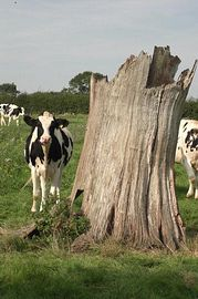 Our Dairy herd