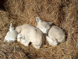 Twin lambs having a kip