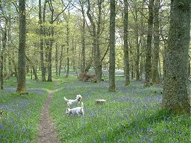 Bluebell woods above the village © TL