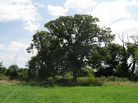 Oak tree in the campsite