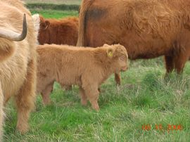 Newly born Highland calf