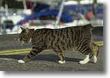 A Manx Cat - Picture courtesy of Q Fyfe