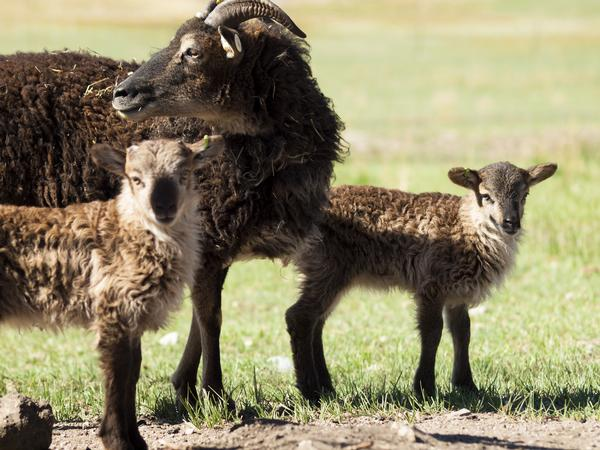 A Soay sheep with two lambs
