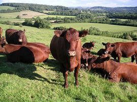 Our Red Poll Herd - beautiful countryside
