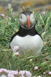 Puffins at Sumburgh Head Nature Reserve