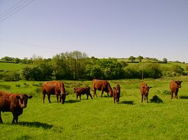 Devon cattle