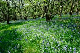 Blue bells in the Springwell woods