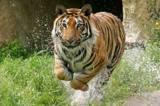 Tiger running through water towards the viewer at Paradise Wildlife Park