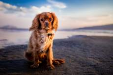 Spaniel sitting on beach looking towards the camera with sea visible behind