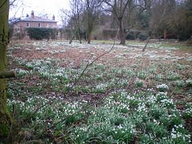 Snowdrops in the old vicarage © Philip Cookson