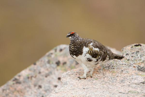 Male Ptarmigan standing on a  rock in the Cairngorm Mountains