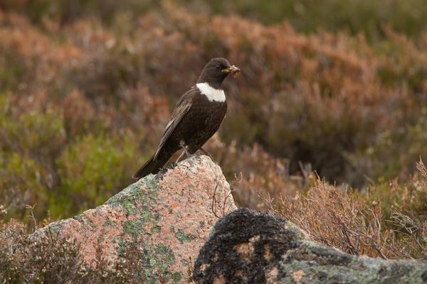 Male Ring Ouzel standing on a rock in the Cairngorm Mountains