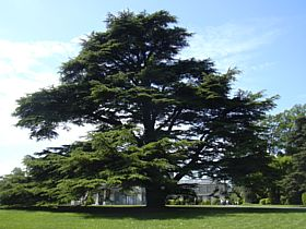 Cedar in front of Brodsworth Hall © Steve Willimott