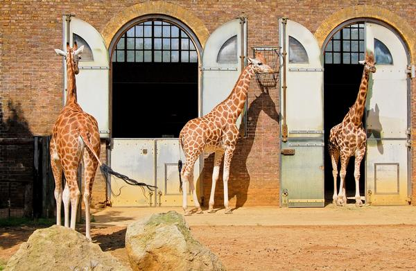 Giraffes enjoying the sunshine in their enclosure at London Zoo
